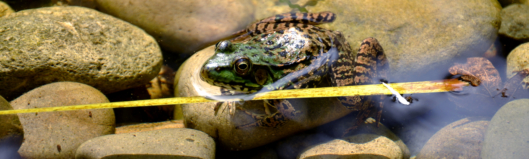 Frog in a River